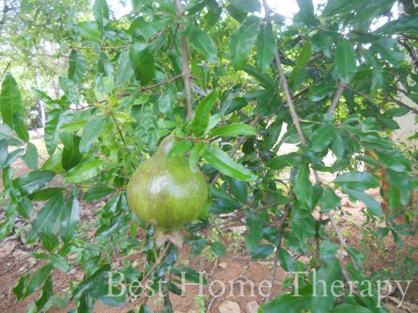 pomegranatesnagit